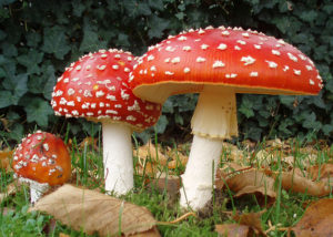 Amanita Muscaria: Take pictures of it, laugh at it, but don't eat it!